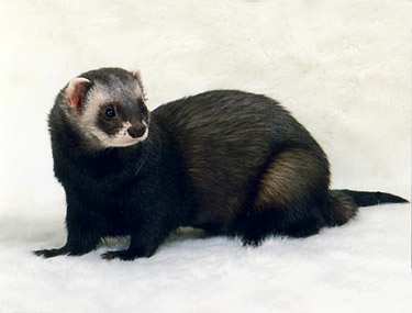 Ferret Color: Black Sable