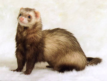 Ferret Color: Chocolate Standard