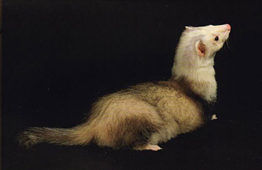 Ferret Color: Panda