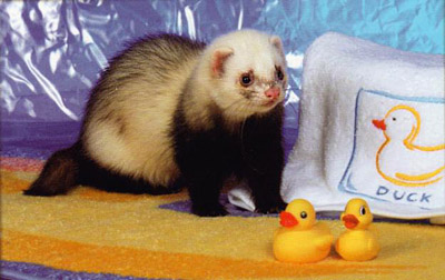 Ferret Color: Sable Point