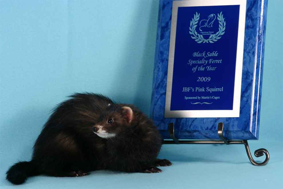 AFA 2009 Black Sable Specialty Ferret of the Year - JBF's Pink Squirrel