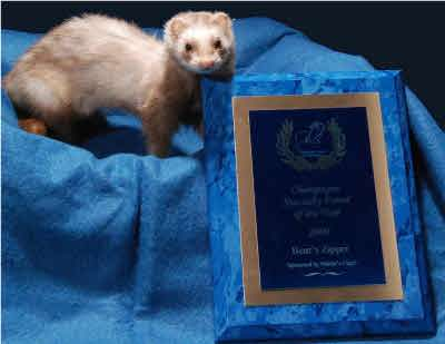 AFA 2009 Champagne Specialty Ferret of the Year - Bear's Zipper